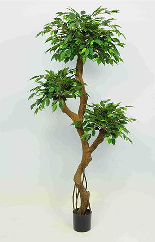 1.2m Ficus Crazy w864 lvs