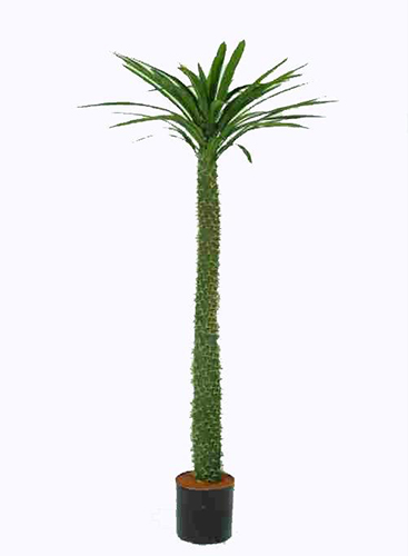 1.33m Madagascar Palm with 54 lvs
