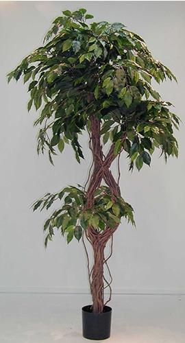 1.5m Ficus Celeste w1280 lvs