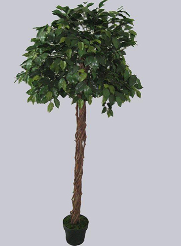 1.5m Ficus Tree Green