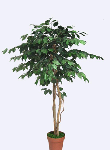1.5m Ficus Tree w840 lvs Green