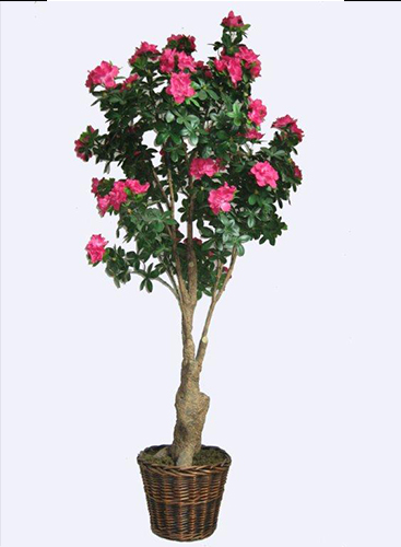 1.6m Azalea Tree Cream Red Dark Pink