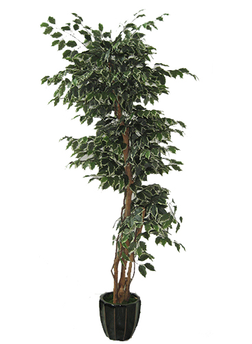 1.8m Ficus Tree Green