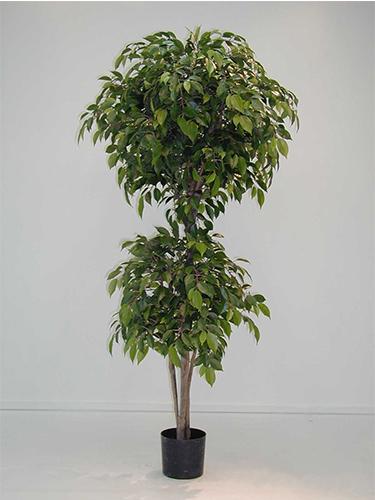 1.8m Natasja Ficus w2784 lvs