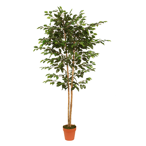 1.9m Ficus Tree Green