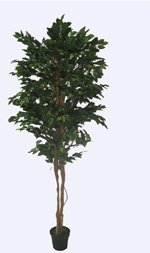 1.9m Ficus Tree Smooth Trunk Green Varigated