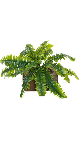 11 Inch Boston Fern