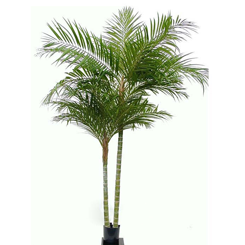 2.1m Areca Palm with 2 stem and 1692 lvs