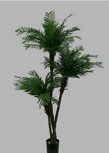 2.1m Cycas Palm with 3 heads with 4492 lvs