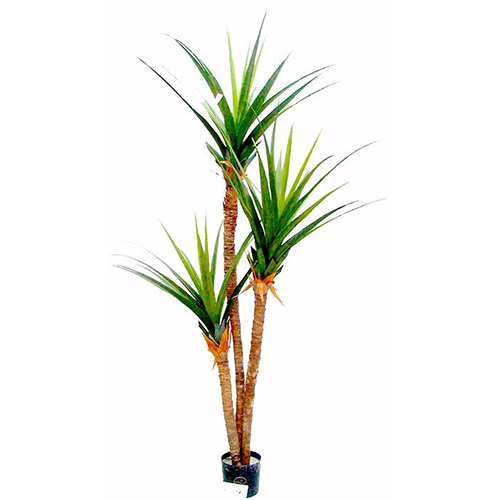 2.4m Pandanus Tree with 3 Heads with 50 lvs