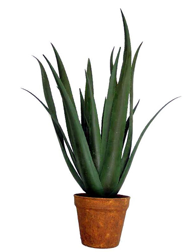 30 inch Aloe Ferox with 24 lvs green