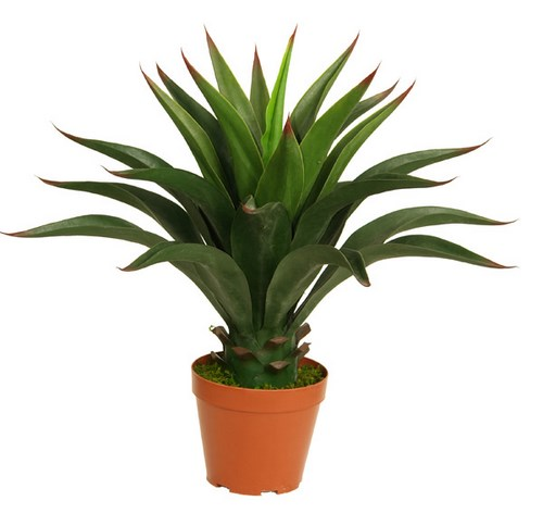 60cm Agave without pot