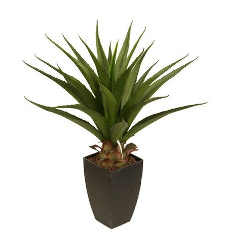 70cm Agave without pot