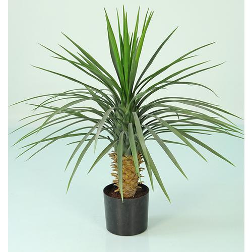 82cm Yucca Rostrara Plant w90 Lvs