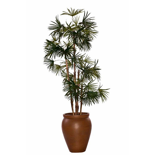 Baby Fan Palm in Creta Pot