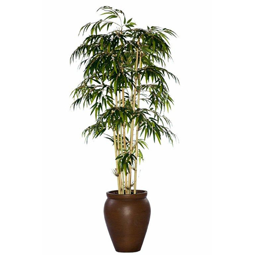 Bamboo Tree in Creta Pot
