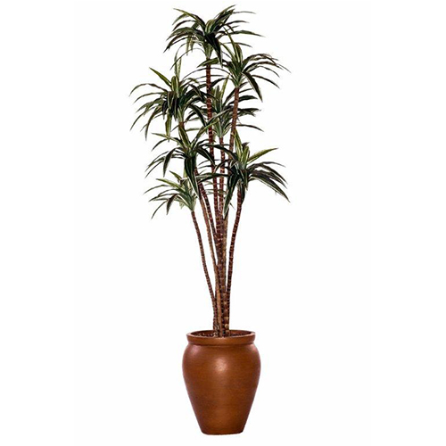 Dracaena in Creta Pot
