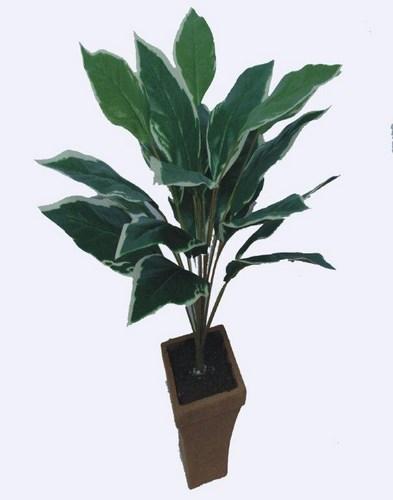 Hosta Plant x 22