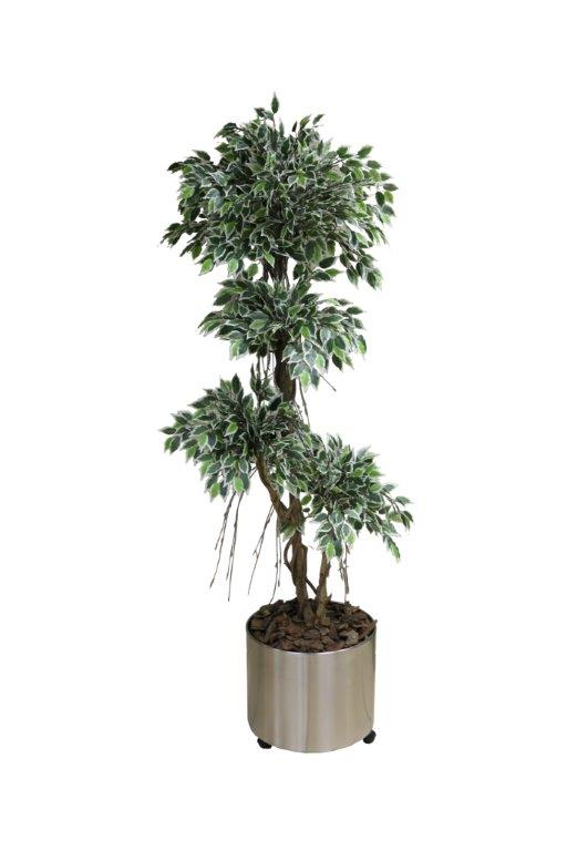 Variegated Mini Ficus in Silver Stainless Steel Urn