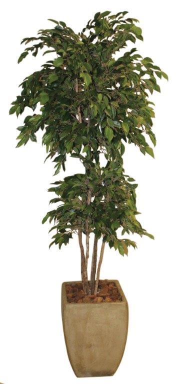 Natasja Ficus in Sqaure Cement Urn