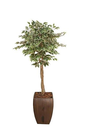 Variegated Ficus 1.5m in Sqaure Cement pot