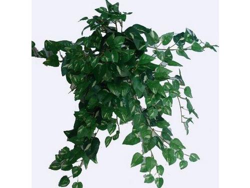 Pothos Ivy x 266 Lvs