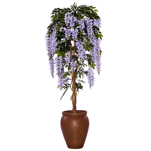 Wisteria in creta Pot