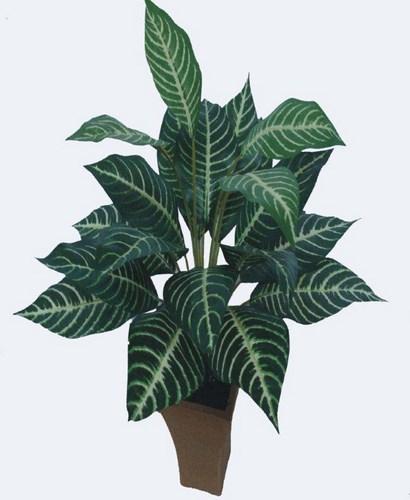 Zebra Plant x 22